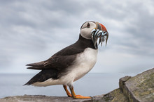 Puffin With Sand Eels In Beak ...
