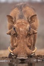 Common Warthog Drinking Water ...