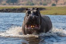 Hippopotamus Standing In River