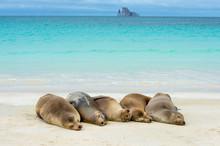 Galapagos Sea Lion Resting On Beach