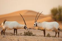 Arabian Oryx Standing In Desert