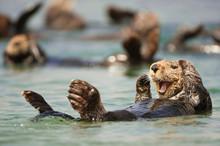 Sea Otter Swimming In Sea