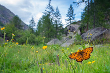 Titania's Fritillary Pollinating On Buttercup