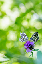Marbled White Pollinating On K...