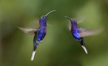 Violet Sabrewing Hummingbird Flying Mid Air