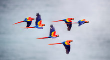 Flock Of Scarlet Macaw Flying ...