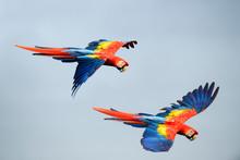 Scarlet Macaw Flying In Sky