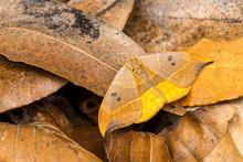 Oak Hook Tip Moth On Leaf