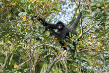 Portrait Of Spider Monkey Climbing On Tree In Madidi National Park