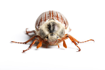 Cockchafer on white background