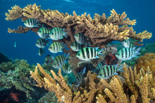 Scissortail Sergeant Fish Sheltering In Coral Reef In Sea