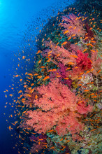 Shoal Of Sea Goldie With Coral Reef In Sea