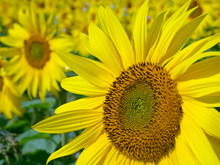 Close Up Of Common Sunflower
