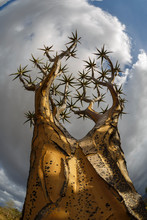 Low Angle View Of Quiver Tree Against Cloudy Sky