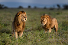 Lions Standing On Grassy Landscape