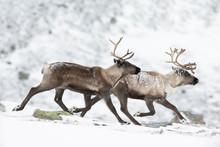 Reindeer Running On Snowy Landscape