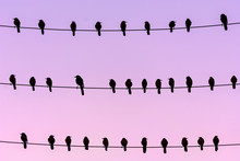Flock Of Boat Tailed Grackle Perching On Wires