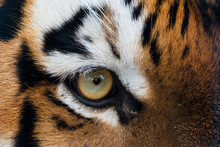 Close Up Of Siberian Tiger Eye
