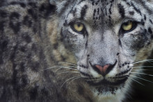Portrait Of Snow Leopard