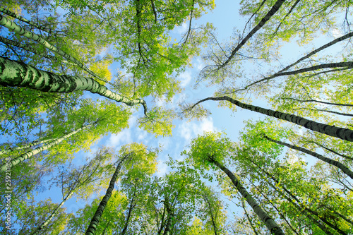 Foto auf Gartenposter Grun natural background bottom view of the tops of birch trees stretch towards the blue sky with green succulent fresh leaves in spring