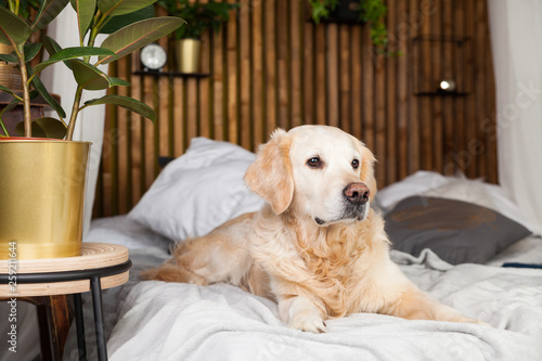 Golden Retriever Puppy Dog On Coat And Pillows On Bed In