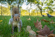 Portrait Of Grey Squirrel On Grass With Pigeon In Background