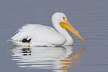 White Pelican (Pelecanus Eryth...