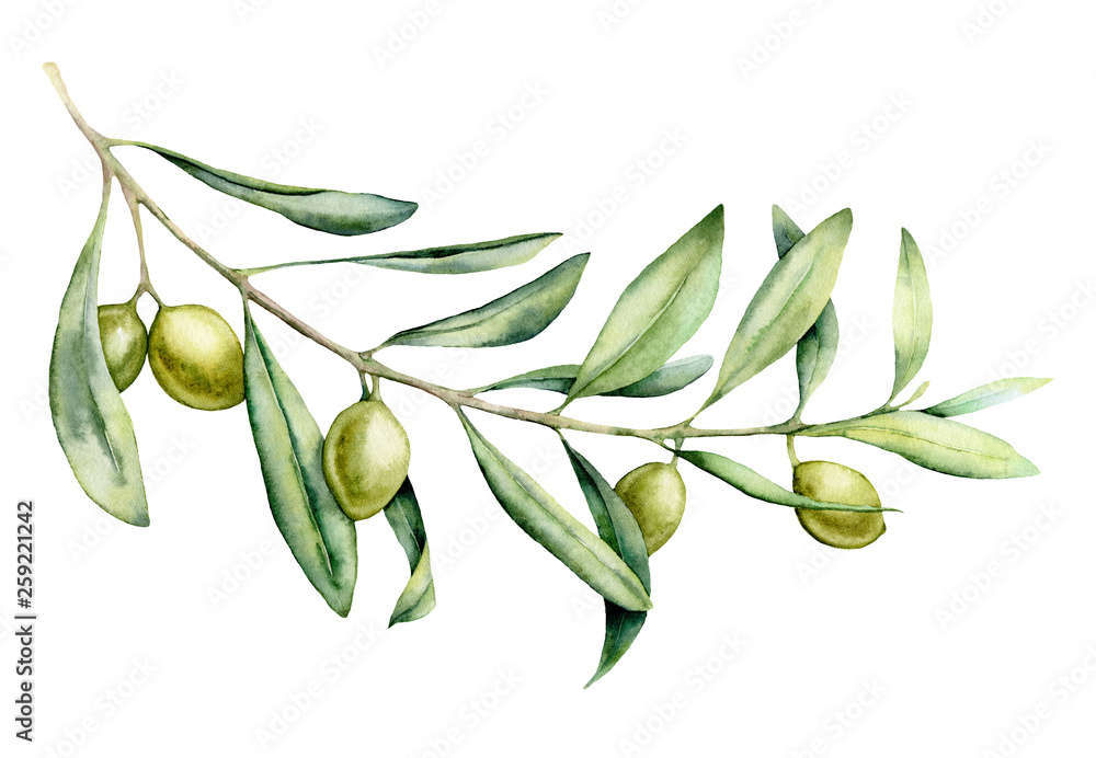 Fototapety, obrazy: Watercolor green olive branch set. Hand painted floral illustration with olive fruit and tree branches with leaves isolatedon white background. For design, print and fabric.