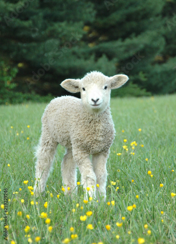 Photo LEICESTER LONGWOOL SHEEP Lamb