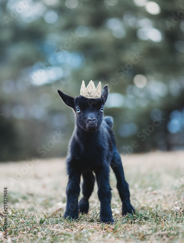 Nigerian Dwarf Doe Kid Dairy Goat in crown Canvas Print