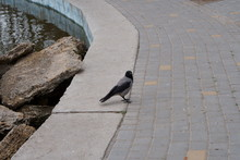 Crow On The Sidewalk Near The Pond