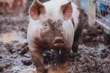 Market Hog Pig In Mud