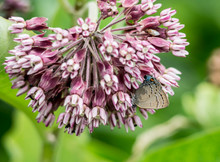 Gray Hairstreak Butterfly Feeding On Pink Milkweed.