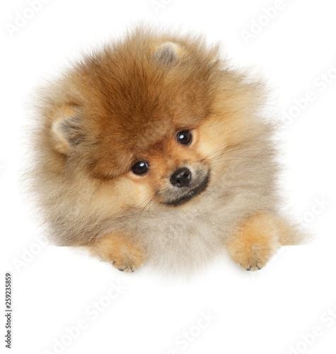 Valokuvatapetti Pomeranian Spitz puppy on banner