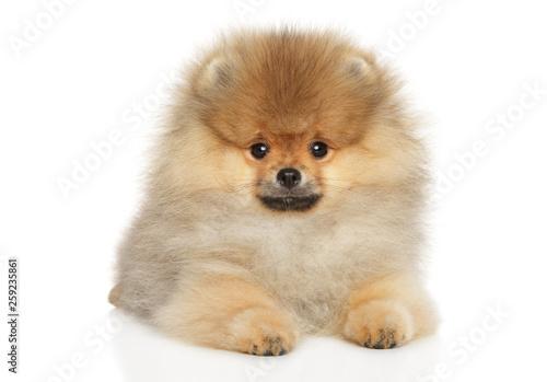 Valokuva  Pomeranian Spitz puppy lying