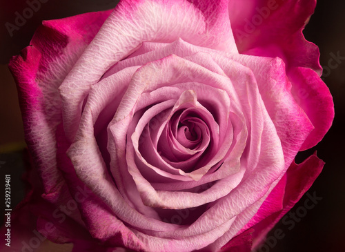Close up Photography of Full Bloom Pink Rose Against Black Background