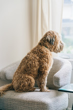 Soft Coated Wheaten Terrier Si...