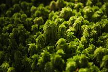 Closeup Of Lush Green Moss