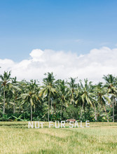 Palms On The Background Of A Rice Field