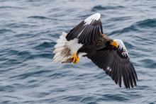 Steller's Sea Eagle Hunting Fish