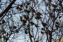 Spring Flock Of Sparrows On A Lilac Bush