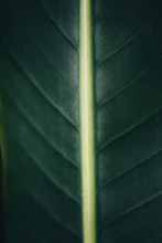 The Center Of A Tropical Leaf