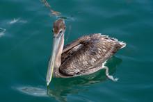 Brown Pelican Floating In Gree...