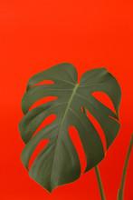 Big Green Leaf On Bright Red