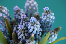 A Freshly Picked Bouquet Of Grape Hyacinth Flowers