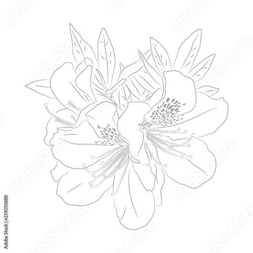 Photo Vector Contour Illustration of  Dwarf Korean Azalea for Coloring Book
