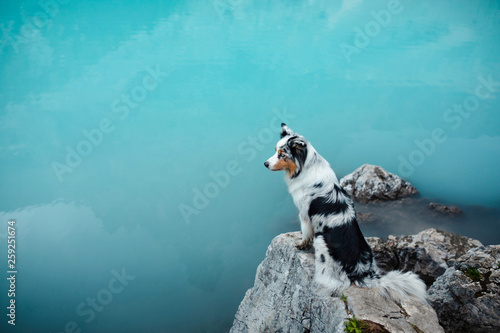 Photo Stands Turquoise dog stands on a stone on a blue lake in the mountains. Australian shepherd, Aussie in nature. Pet Travel