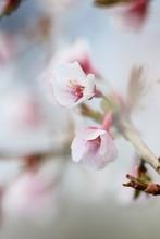 Cherry Blossom Details, Shallow Focus.