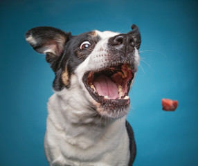 Fototapeta Pies border collie catching a treat with a wide open mouth in a studio shot isolated on a blue background