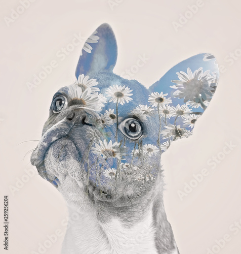 Türaufkleber Französisch bulldog daisies double exposure on a cute french bulldog puppy with a funny face isolated on a cream background